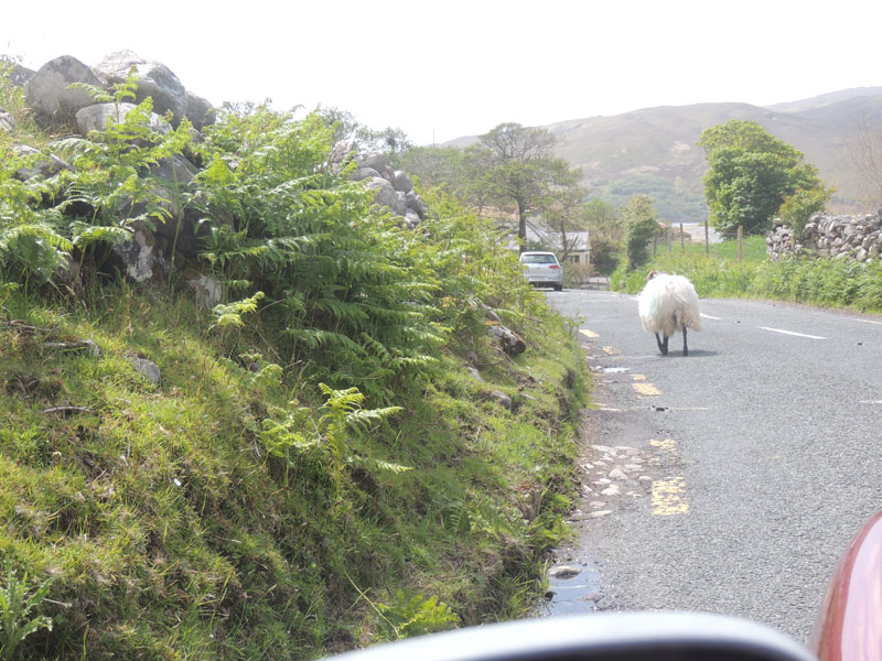 sheep on the connemara loop