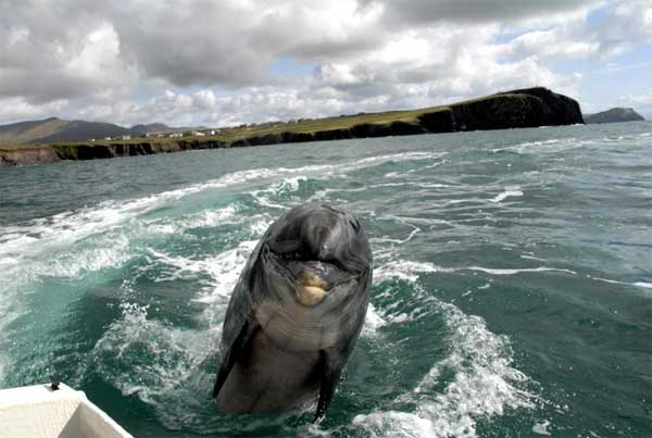Fungie The Dolphin He S In Dingle Still Alive Best Fungie Tours Included Experience dingle bay & meet fungie the dingle dolphin! fungie the dolphin he s in dingle